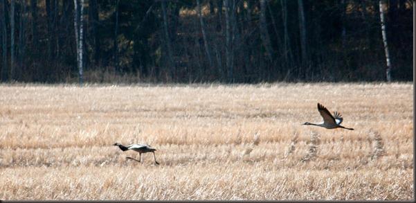 cranes_takeoff