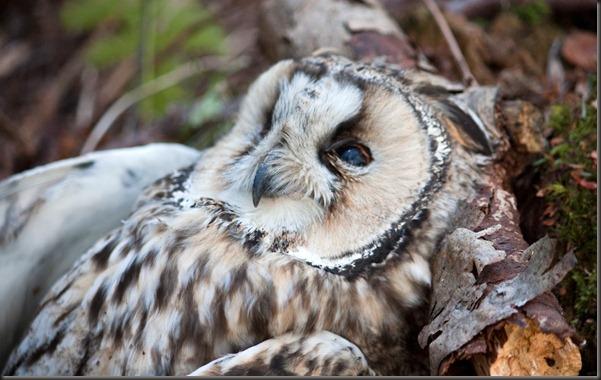 dead_owl_resting