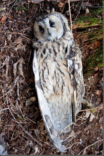 dead_owl