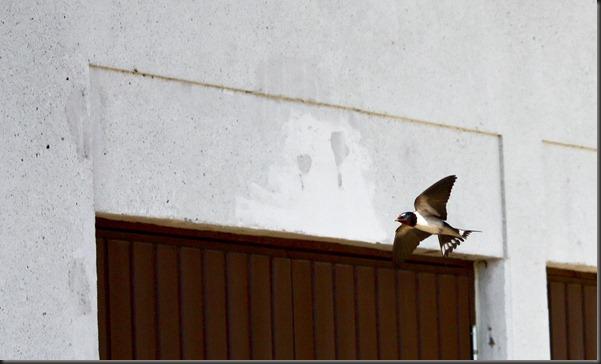 barnswallow_flight