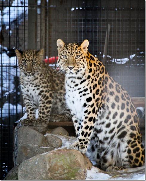 amurinleopardit2