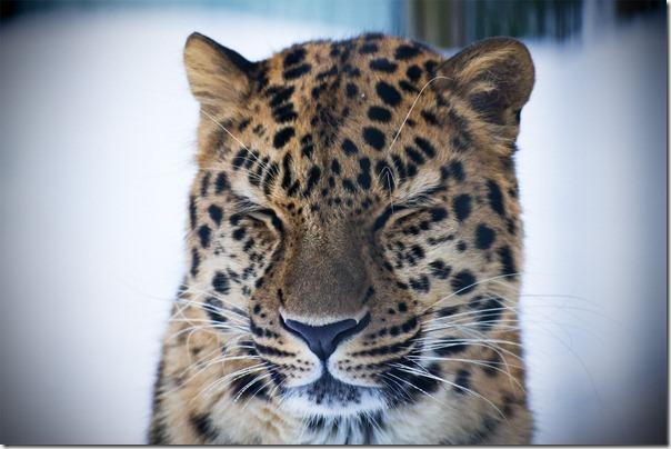 lepardi