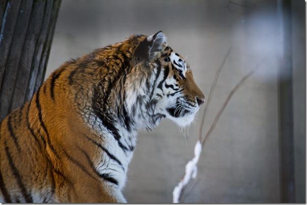tiikerisivu