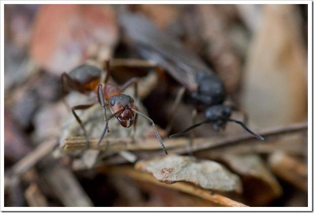 muurahaiset2